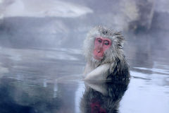 Snow Monkey Royalty Free Stock Image