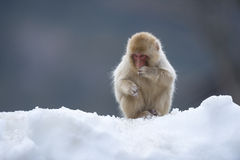 Free Snow Monkey Stock Image - 39058561