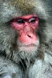 Snow Monkey Stock Image