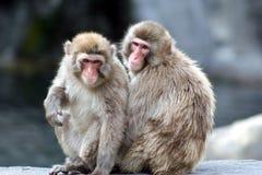 Snow Monkey. Love royalty free stock photos