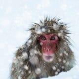 Snow Monkey Royalty Free Stock Photos
