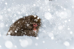 Snow Monkey Stock Photos