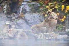 Free Snow Monkey At The Edge Of The Hot Spring Pool Onsen At Jigoku Stock Photo - 108999230