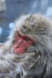 Snow Monkey close up Stock Images