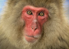 Snow monkey closeup Royalty Free Stock Photos