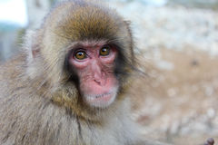 Snow Monkey Closeup. Snow Monkey photographed at the Jigokudani Snow Monkey Park in Japan Stock Photo