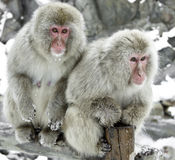 Snow Monkey. Monkey Couple having some silent talk Taken at Jigokudani, Nagano Stock Images