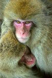 Snow monkey with cub warming themselves against on cold winter weather. Snow monkeys family warming themselves against on cold winter weather.  Jigokudani Park Stock Photo