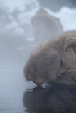 Japanese snow monkey drinking Royalty Free Stock Photos