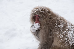 Snow monkey. Is eating his food Royalty Free Stock Image