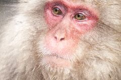 Snow Monkey at the edge of the hot spring pool Onsen at Jigoku Royalty Free Stock Photos