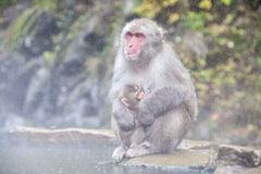 Snow monkey at the edge of the hot spring pool Onsen at Jigoku Stock Photo