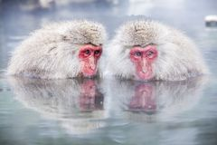 Snow Monkey at the edge of the hot spring pool Onsen at Jigoku Royalty Free Stock Photo