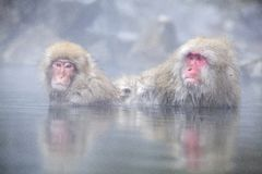 Snow Monkey at the edge of the hot spring pool Onsen at Jigoku Royalty Free Stock Photography