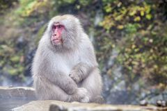 Snow Monkey at the edge of the hot spring pool Onsen at Jigoku Stock Photography
