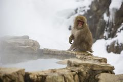 Snow Monkey on Edge of Hot Springs Stock Photography