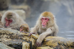 Snow Monkey Emotions: Anxiety. Though the arm of this red-face fuzzy brown snow monkey is loosely hanging over the rock ledge of the steamy mineral springs, this stock photo
