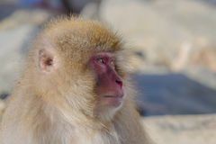 Snow Monkey Emotions and Expressions: Attentiveness. Looking at the faces of Snow Monkeys, it`s not hard to anthropomorphize the facial expressions and emotions Stock Images