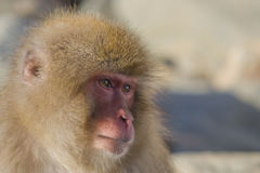 Snow Monkey Emotions/Expressions: Concern. Looking at the faces of Snow Monkeys, it`s not hard to anthropomorphize the facial expressions and emotions of these Royalty Free Stock Photos