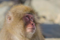 Snow Monkey Emotions and Expressions: Consternation. Looking at the faces of Snow Monkeys, it`s not hard to anthropomorphize the facial expressions and emotions Royalty Free Stock Photo