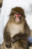 Snow Monkey Emotions and Expressions: Seriousness. Looking at the faces of Snow Monkeys, it`s not hard to anthropomorphize the facial expressions and emotions of Royalty Free Stock Photos