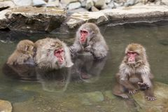 Free Snow Monkey Entering Jigokudani Hot Spring. Royalty Free Stock Photography - 105094537