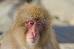 Snow Monkey Expressions: Sleepiness. Looking at the faces of Snow Monkeys, it`s not hard to anthropomorphize the facial expressions and emotions of these Royalty Free Stock Image