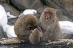 A snow monkey family grooming Stock Photos