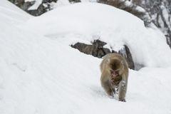Snow Monkey Female with Baby Underneath Stock Images