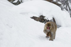 Snow Monkey Female Eating with Baby Underneath Stock Image