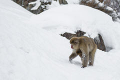 Snow Monkey Foraging with Baby Underneath Royalty Free Stock Image