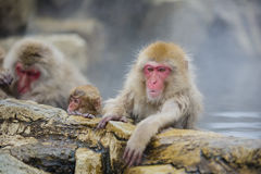 Snow Monkey Glare. Leisurely hanging one arm over the rock ledge of the steamy mineral springs, this snow monkey glares at something with a warning glance that royalty free stock photos