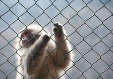 Snow monkey gripping a wire mesh fence Stock Photography