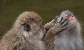 Snow Monkey Grooming Stock Photo
