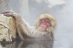 Snow Monkey In Hot Spring Royalty Free Stock Image