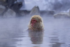 Snow Monkey in hot spring. Japanese Macaque, Jigokudani Monkey Park, Snow monkey royalty free stock image