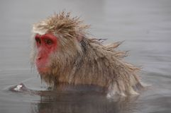 Snow monkey in hot spring Stock Photo