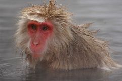 Snow monkey in hot spring Stock Photos