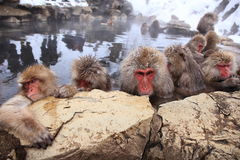 Snow monkey in hot spring Royalty Free Stock Photo