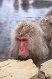 Snow monkey in hot spring Royalty Free Stock Photography