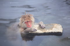 Snow monkey in hot spring Stock Image