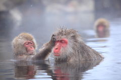Snow monkey in hot spring Stock Images