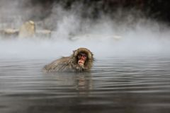Snow monkey in hot spring, Jigokudani, Nagano, Japan Stock Image