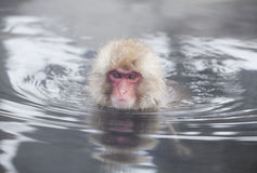 Snow monkey in hot springs of Nagano,Japan. Royalty Free Stock Images
