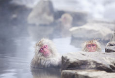 Snow monkey in hot springs of Nagano,Japan. Snow monkeys (Japanese Macaques) in the onsen hot springs of Nagano,Japan Royalty Free Stock Photography