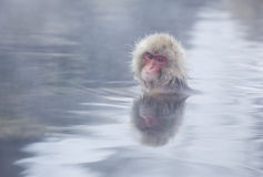 Snow monkey in hot springs of Nagano,Japan. Snow monkeys (Japanese Macaques) in the onsen hot springs of Nagano,Japan Stock Photography