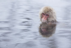 Snow monkey in hot springs of Nagano,Japan. Stock Photography