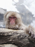 Snow monkey in hot springs of Nagano,Japan. Snow monkeys (Japanese Macaques) in the onsen hot springs of Nagano,Japan Royalty Free Stock Photo