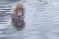 Snow monkey in hot springs of Nagano,Japan. Stock Photos