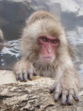 Snow monkey in hot springs of Nagano,Japan. Snow monkeys (Japanese Macaques) in the onsen hot springs of Nagano,Japan Stock Photo